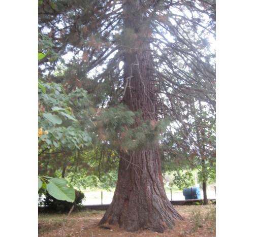 Вековното дърво