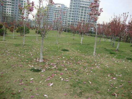Пролетен цветопад - магнолиев цвят по тревата