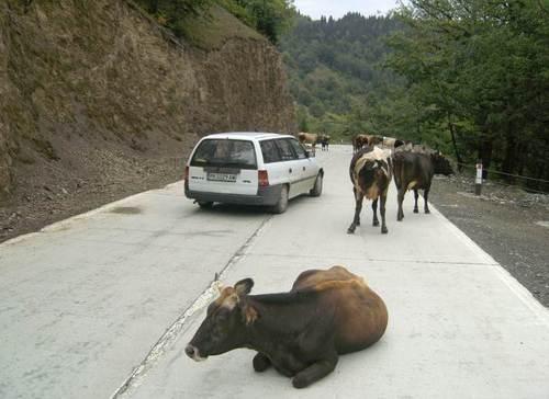 В Кавказ кравите са навсякъде