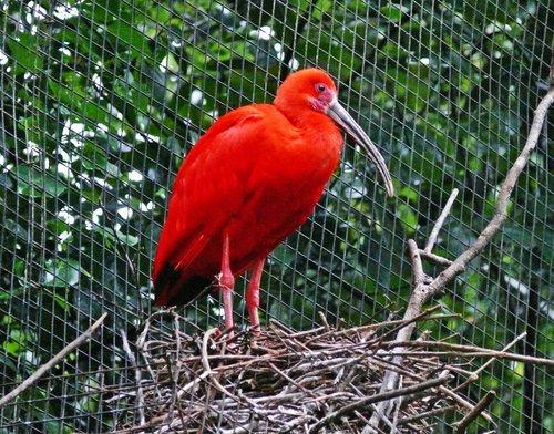 Червената птица