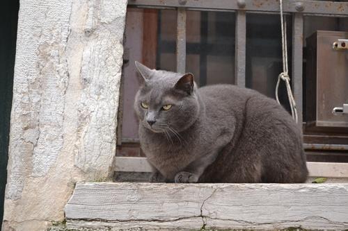 Венецианска котка