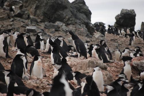 Антарктически пингвин надава любовен зов