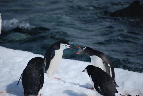 Пингвин Папуа, случайно попаднал в колония на Антарктически пингвини
