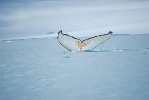 Гърбат кит мята опашка в залива Емона. За този вид са характерни бучковидните образувания по тялото