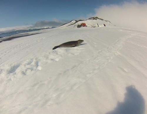 """Тюлен на Уедъл пред базата """"Св. Климент Охридски"""". На снимката """"Куцото куче"""" и """"Руската барака"""" са вдясно от триъгълните къщи, покрити със сняг"""