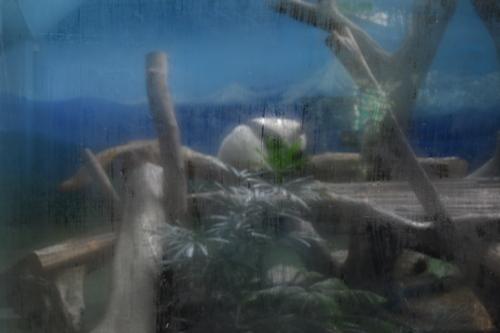 Тайпе, зоопарка, гигантска панда