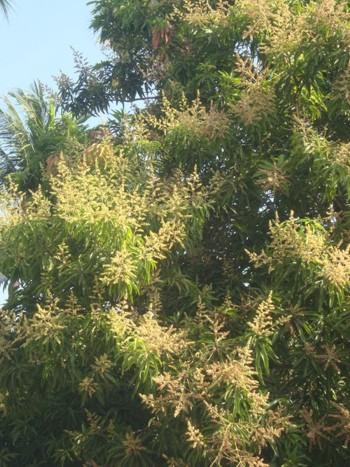 Мангово дърво