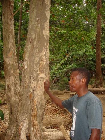 Филипини, Симсон показва дървото банаба