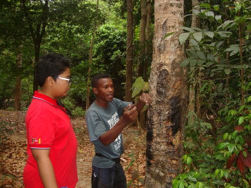 Симсон показва смолата на каучуковото дърво