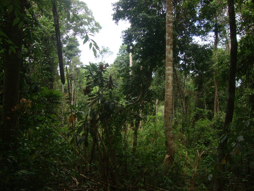 джунглата в Памулаклакин