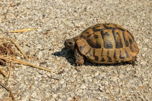 Гърция, костенурка