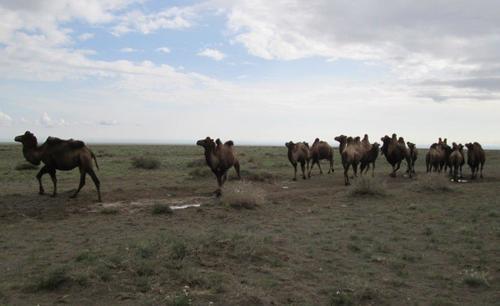 Стадо от двугърби камили в западната част на пустинята Гоби