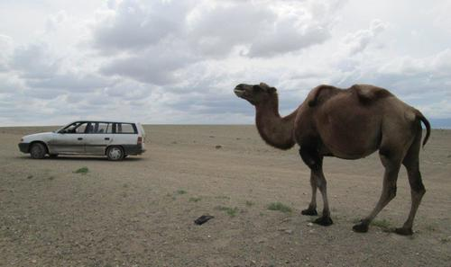 Отделила се от стадото любопитна камила оглежда моя Опел в западната част на пустинята Гоби