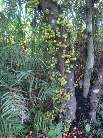 плодовете на дървото растат по самото му стъбло