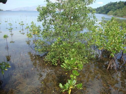 мангрова горичка