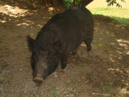 брадавичеста свиня или асуанг?...