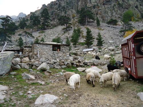 """На слизане от върха - овцете, от чиито мляко се прави сиренето с дъх на билки """"Brocciu"""""""
