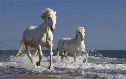Бели камаргски коне, препускащи по брега