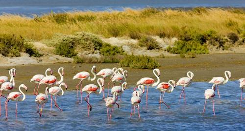 Ято фламинго в резервата Камарг